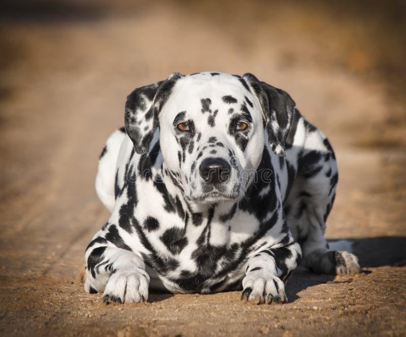 Γραπτό δαλματικό σκυλί που βάζει στο πάρκο φθινοπώρου στοκ εικόνες με δικαίωμα ελεύθερης χρήσης