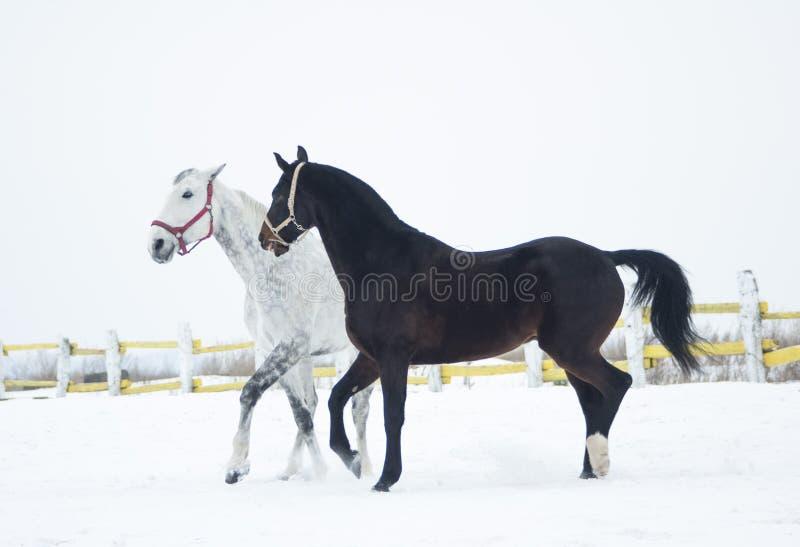 Γραπτό επισημασμένο άλογο στη μάντρα στοκ εικόνα με δικαίωμα ελεύθερης χρήσης