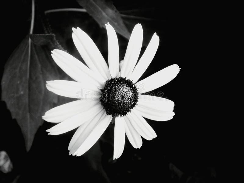 Γραπτό λουλούδι ήλιων στοκ φωτογραφία
