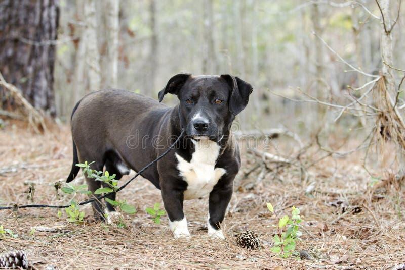 Γραπτό χαμηλός-αναβατών εργαστηρίων σκυλί φυλής μπασέ μικτό μπουλντόγκ στοκ εικόνες