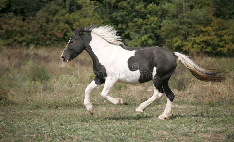 Γραπτό χρωματισμένο άλογο χρωμάτων που καλπάζει στον τομέα στοκ εικόνες