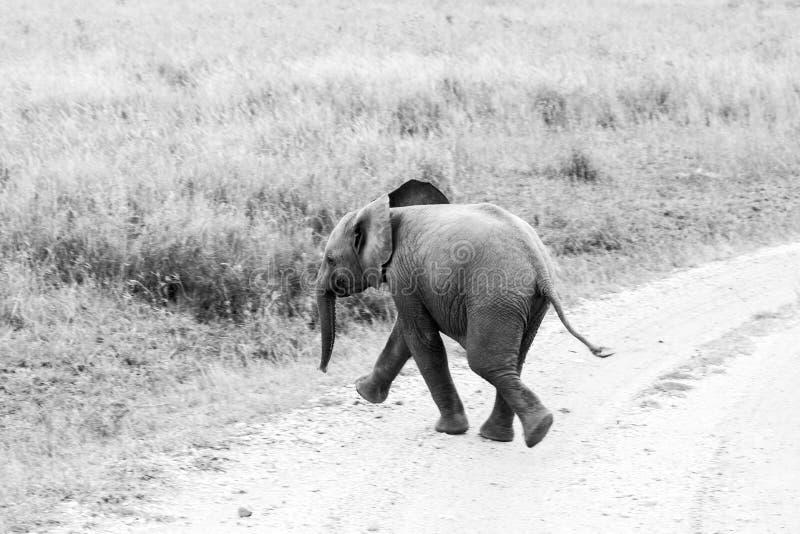 Γραπτό africana Loxodonta ελεφάντων μωρών αφρικανικό στοκ φωτογραφίες με δικαίωμα ελεύθερης χρήσης