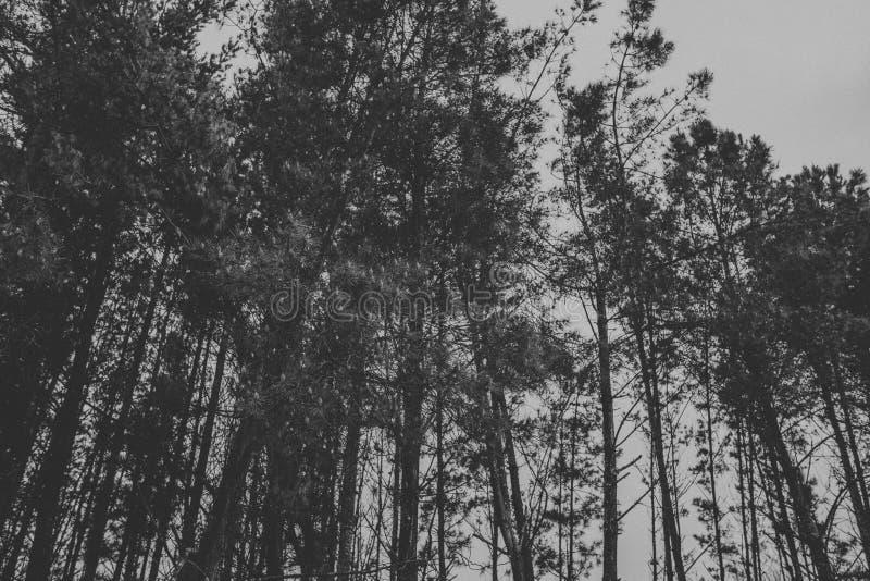 Γραπτό scape του δάσους δέντρων πεύκων στοκ εικόνα