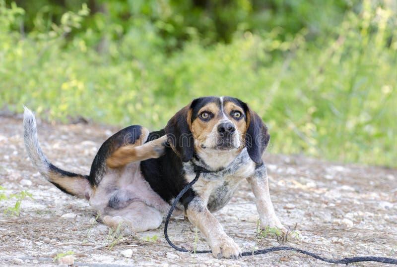 Γρατσουνίζοντας ψύλλοι σκυλιών κυνηγόσκυλων λαγωνικών στοκ φωτογραφίες με δικαίωμα ελεύθερης χρήσης