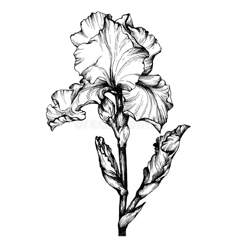 Γραφικός το λουλούδι Iris κλάδων Χρωματίζοντας σελίδα βιβλίων doodle για τον ενήλικο και τα παιδιά Γραπτή απεικόνιση περιλήψεων απεικόνιση αποθεμάτων