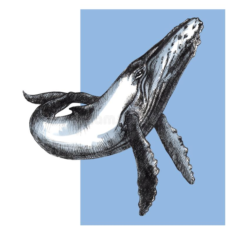 Γραφικό σκίτσο γαλάζιων φαλαινών στο άσπρο υπόβαθρο απεικόνιση αποθεμάτων