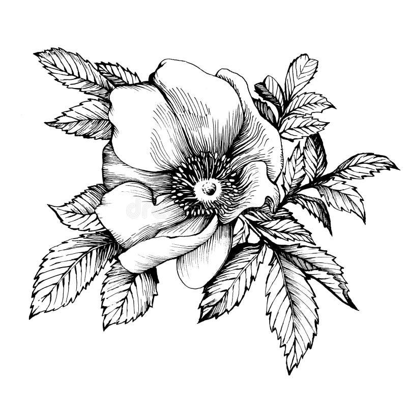 Γραφικό το σκυλί λουλουδιών κλάδων αυξήθηκε ονόματα: Ιαπωνικά αυξήθηκε, rugosa της Rosa απεικόνιση αποθεμάτων