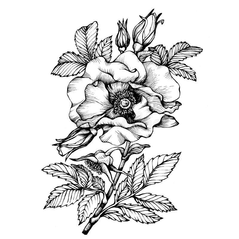 Γραφικό το σκυλί λουλουδιών κλάδων αυξήθηκε ονόματα: Ιαπωνικά αυξήθηκε, rugosa της Rosa διανυσματική απεικόνιση