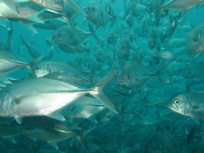 γρύλος ψαριών στοκ φωτογραφία με δικαίωμα ελεύθερης χρήσης
