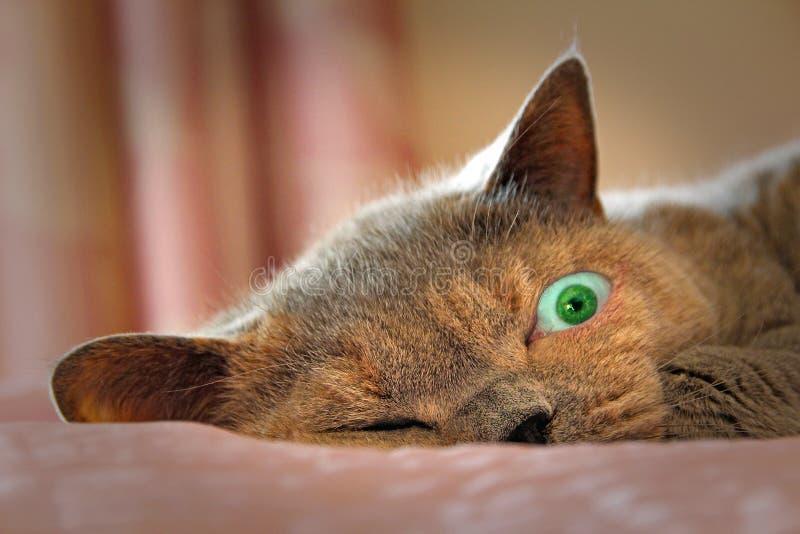 Γυαλιστερός γάτα ματιών ανοικτή στοκ εικόνες