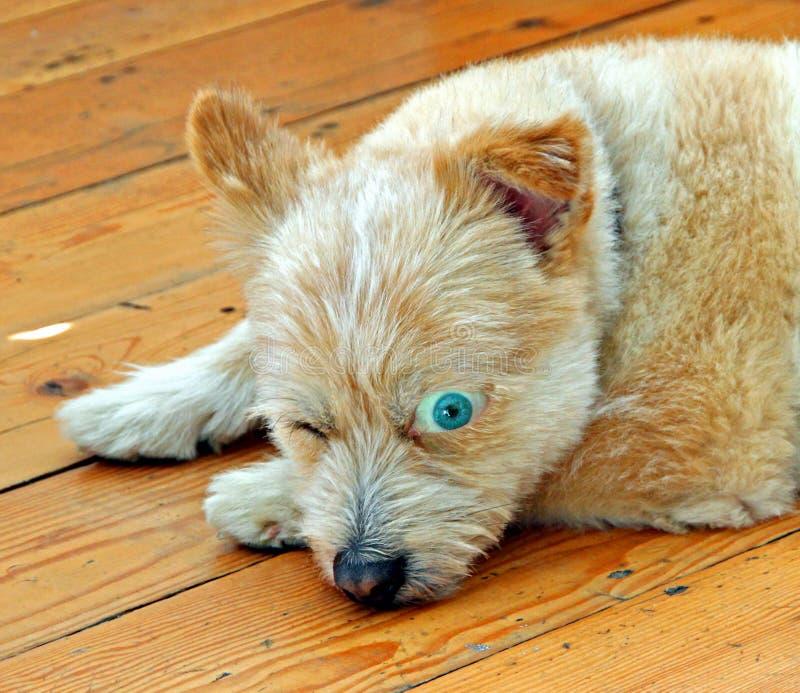 Γυαλιστερός σκυλί ματιών ανοικτό στοκ φωτογραφίες