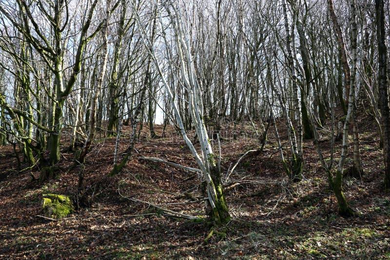 Γυμνή χειμερινή δασόβια σκηνή δέντρων στοκ φωτογραφία με δικαίωμα ελεύθερης χρήσης