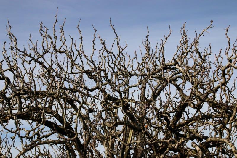 Γυμνοί κλάδοι ενός δέντρου μηλιάς στοκ εικόνα