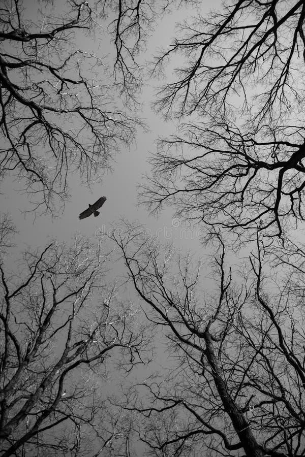 Γυμνοί κλάδοι δέντρων και μια μύγα αετών στοκ φωτογραφία με δικαίωμα ελεύθερης χρήσης