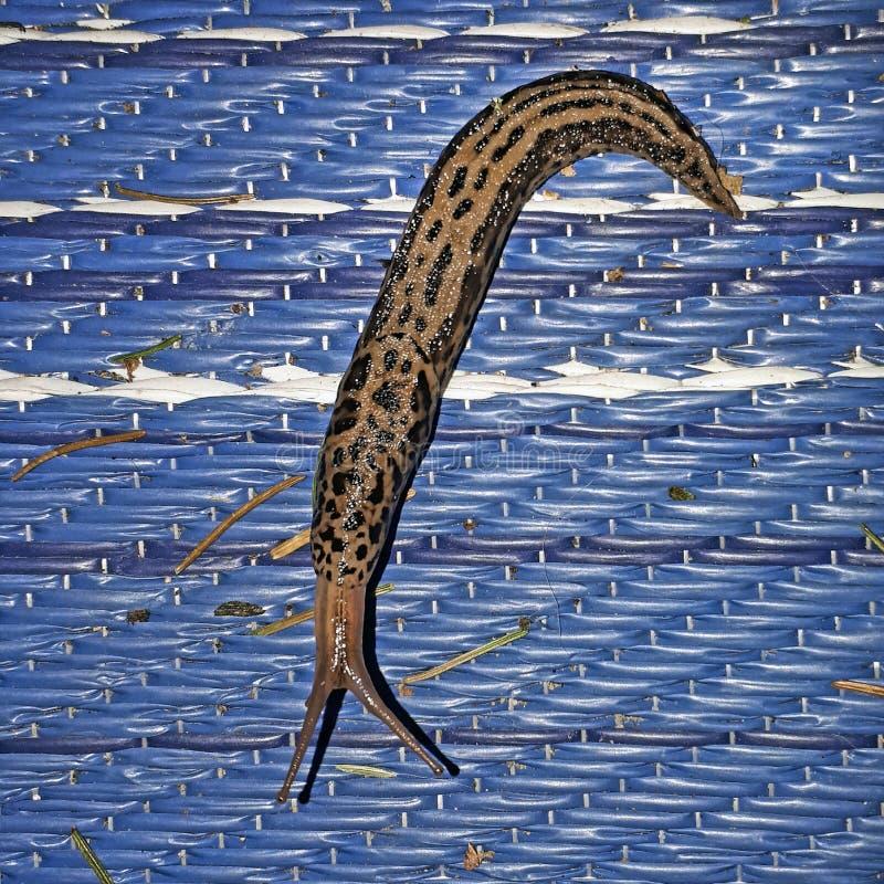 Γυμνοσάλιαγκας με τη σύσταση τιγρών στον μπλε τάπητα στοκ φωτογραφίες με δικαίωμα ελεύθερης χρήσης