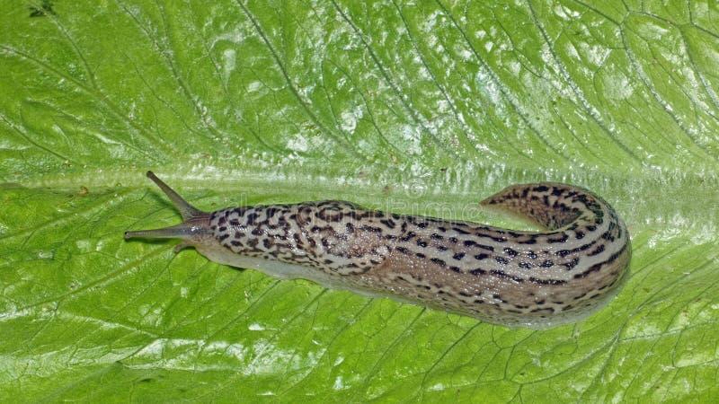 Γυμνοσάλιαγκας τομέων, γαστερόποδο στοκ φωτογραφίες