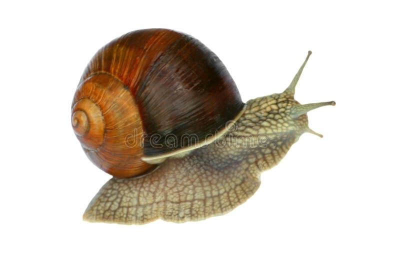Download Γυμνοσάλιαγκας στοκ εικόνα. εικόνα από wildlife, slimy - 17056849