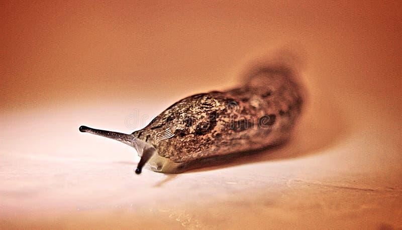 Γυμνοσάλιαγκας λεοπαρδάλεων στοκ εικόνες με δικαίωμα ελεύθερης χρήσης