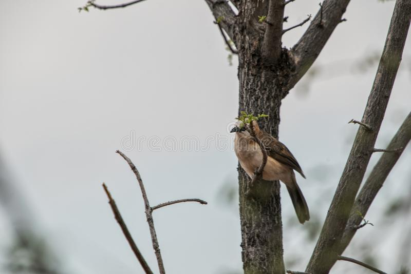 Γυμνός η ένωση φλυάρων σε έναν κλάδο ενός δέντρου στοκ φωτογραφία με δικαίωμα ελεύθερης χρήσης