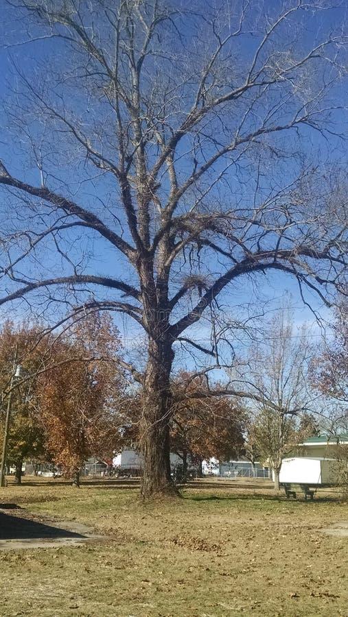 Γυμνό δέντρο πεκάν στοκ εικόνα με δικαίωμα ελεύθερης χρήσης