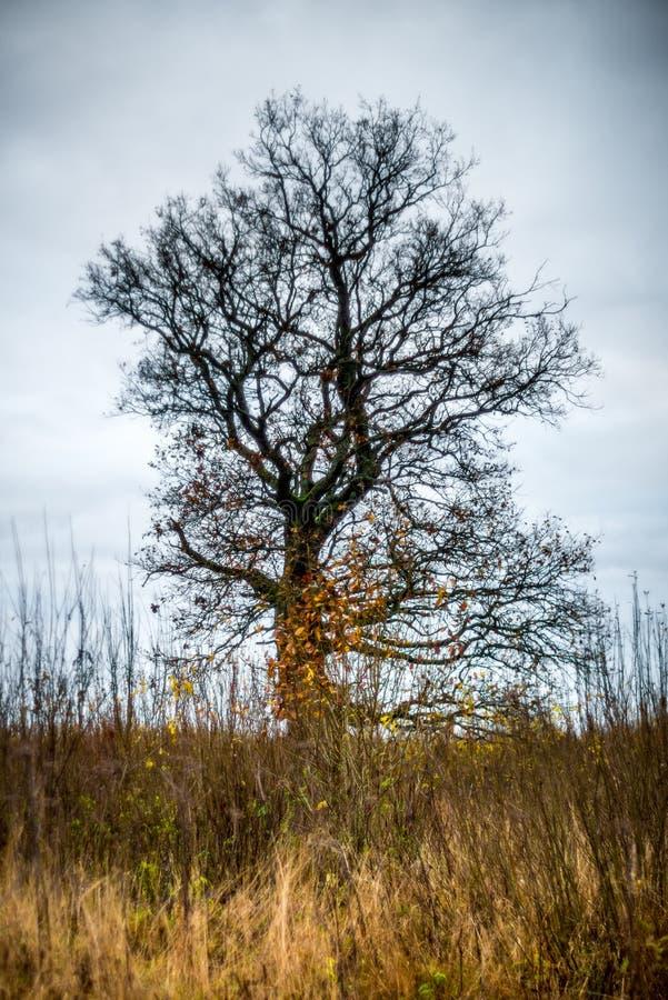 Γυμνό παλαιό δρύινο δέντρο στοκ εικόνες με δικαίωμα ελεύθερης χρήσης