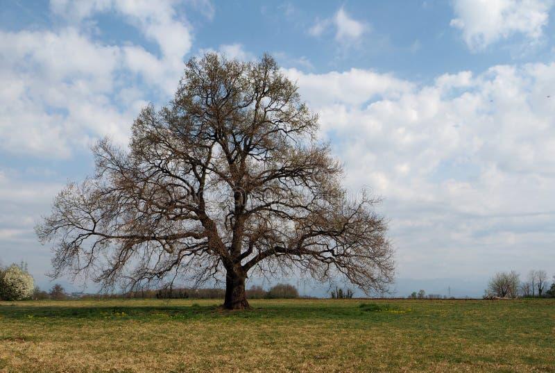 Γυμνό παλαιό αγγλικό δρύινο δέντρο στην πρόωρη άνοιξη στοκ φωτογραφία