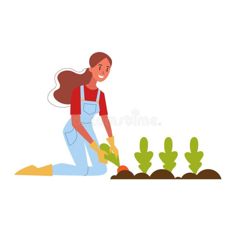 Γυναίκα αγρότης που συλλέγει καρότο Βιολογική συγκομιδή ελεύθερη απεικόνιση δικαιώματος
