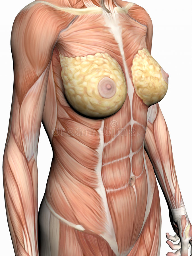 γυναίκα ανατομίας διανυσματική απεικόνιση