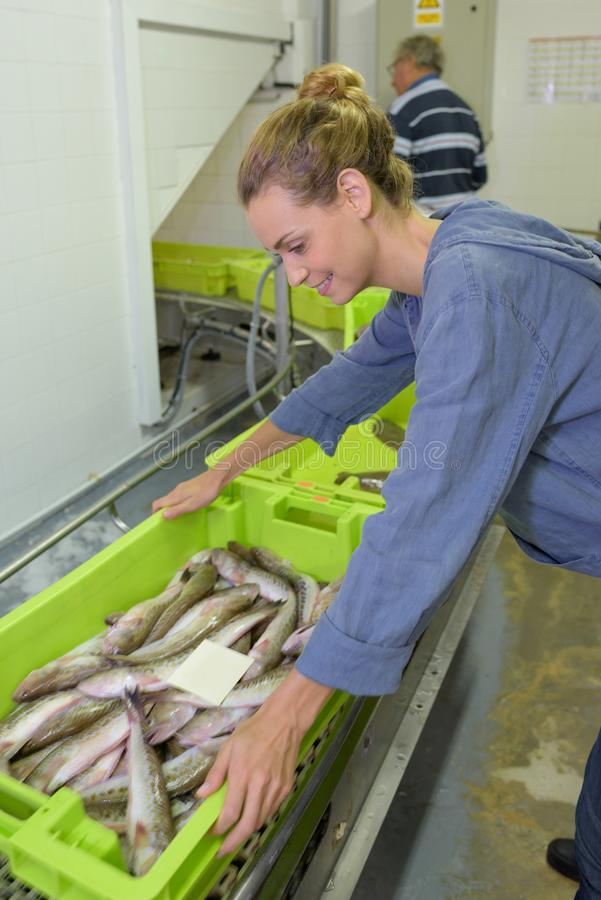 Γυναίκα εργαζόμενος που παίρνει το εμπορευματοκιβώτιο ψαριών στοκ φωτογραφίες