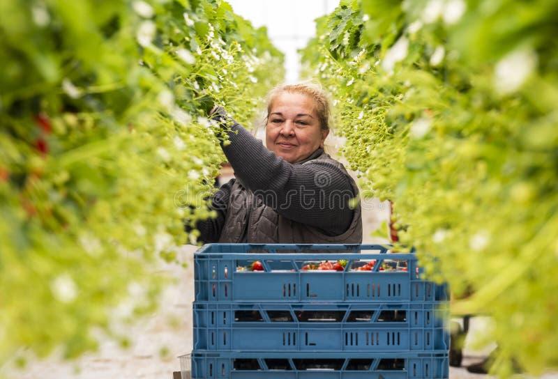 Γυναίκα εργαζόμενος στο θερμοκήπιο για τις φράουλες στοκ φωτογραφίες με δικαίωμα ελεύθερης χρήσης