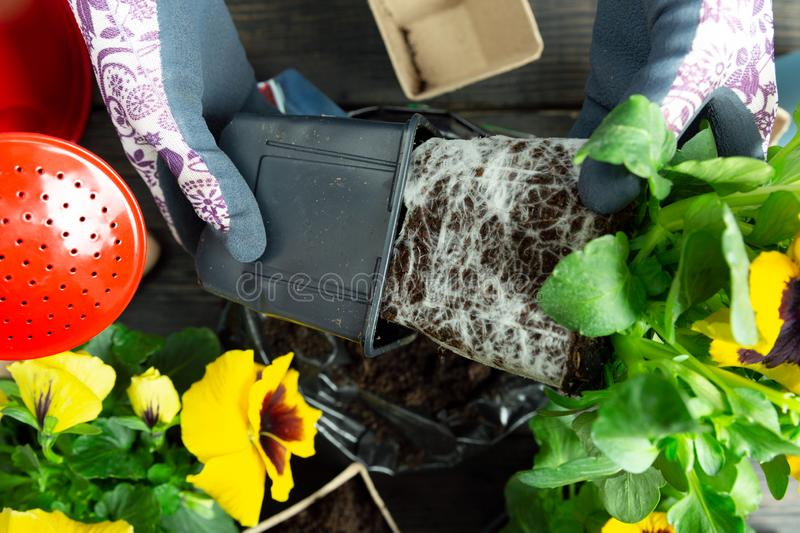 Γυναίκα κηπουρών που παίρνει τις pansy εγκαταστάσεις από το πλαστικό δοχείο για να το φυτεψει στον κήπο Φύτευση του pansy λουλουδ στοκ φωτογραφία με δικαίωμα ελεύθερης χρήσης