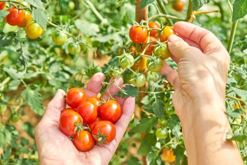 Γυναίκα που συγκομίζει τις φρέσκες ντομάτες στον κήπο σε μια ηλιόλουστη ημέρα Farmer που επιλέγει τις οργανικές ντομάτες Έννοια φ στοκ εικόνες