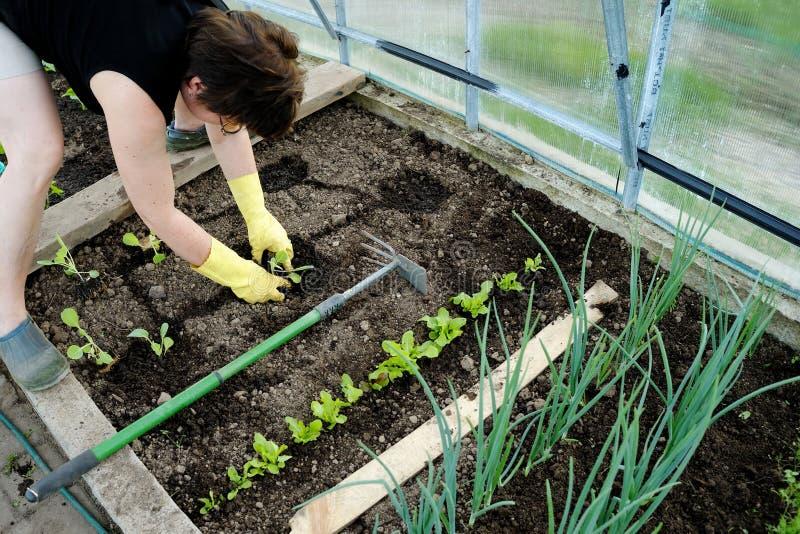 Γυναίκα που φυτεύει τα νέα σπορόφυτα στοκ φωτογραφία