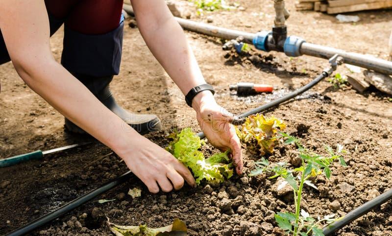 Γυναίκα που φυτεύει τη σαλάτα στοκ εικόνες