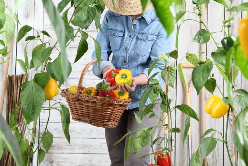 Γυναίκα στο φυτικό κήπο με το ψάθινο καλάθι που επιλέγει τα χρωματισμένα γλυκά πιπέρια από τις πολύβλαστες πράσινες εγκαταστάσεις στοκ φωτογραφίες με δικαίωμα ελεύθερης χρήσης