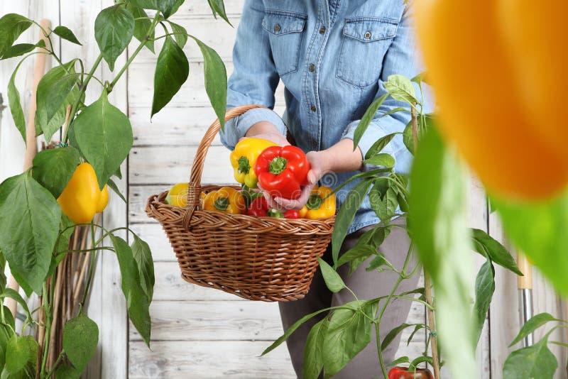 Γυναίκα στο φυτικό κήπο με το ψάθινο καλάθι που επιλέγει τα χρωματισμένα γλυκά πιπέρια από τις πολύβλαστες πράσινες εγκαταστάσεις στοκ εικόνες