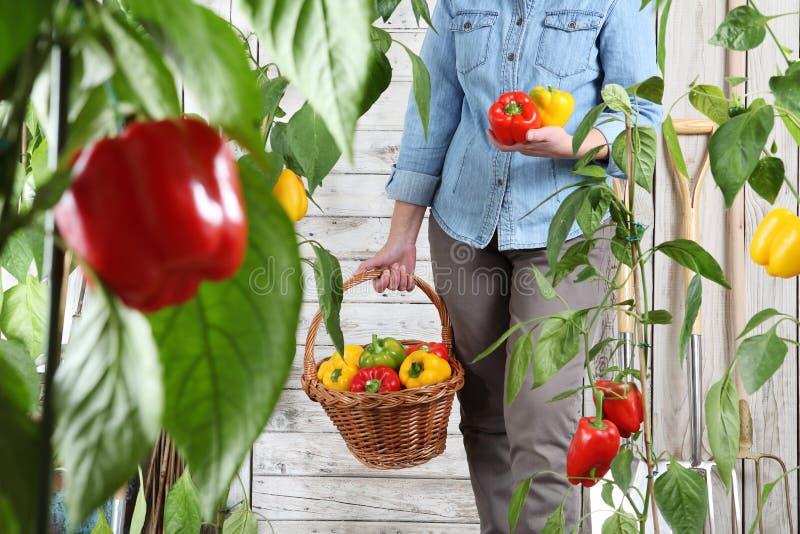Γυναίκα στο φυτικό κήπο με το ψάθινο καλάθι που επιλέγει τα χρωματισμένα γλυκά πιπέρια από τις πολύβλαστες πράσινες εγκαταστάσεις στοκ φωτογραφίες