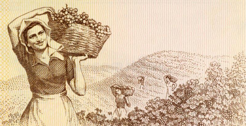 γυναίκα συγκομιδής σταφυλιών στοκ εικόνες με δικαίωμα ελεύθερης χρήσης