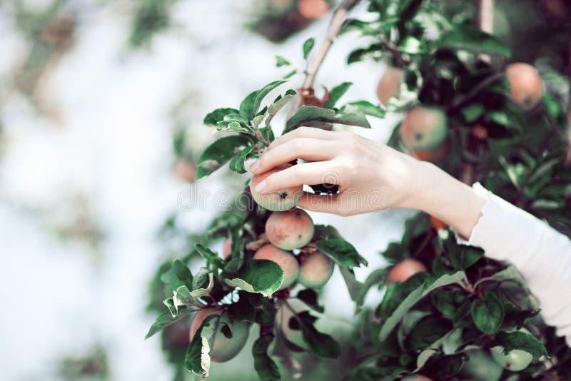 Γυναίκα ` s που μαζεύει με το χέρι τα ώριμα μήλα από ένα δέντρο μηλιάς στοκ φωτογραφία με δικαίωμα ελεύθερης χρήσης