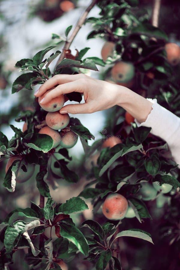 Γυναίκα ` s που μαζεύει με το χέρι τα ώριμα μήλα από ένα δέντρο μηλιάς στοκ φωτογραφίες