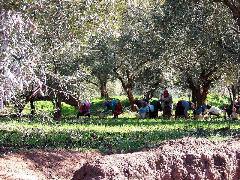 Γυναίκες που συγκομίζουν τις ελιές σε Marocco στοκ φωτογραφία