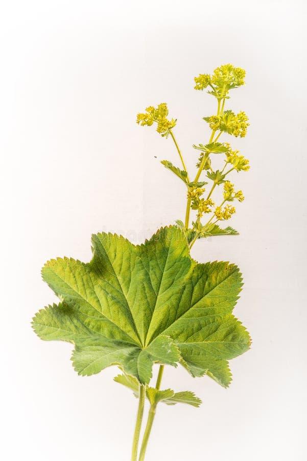 Γυναικείος ` s μανδύας - Alchemilla mollis - φύλλο και λουλούδια στοκ φωτογραφία με δικαίωμα ελεύθερης χρήσης