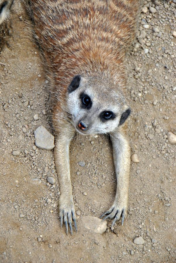Γωνία που πυροβολείται υψηλή μιας χαλάρωσης meerkat στοκ εικόνες