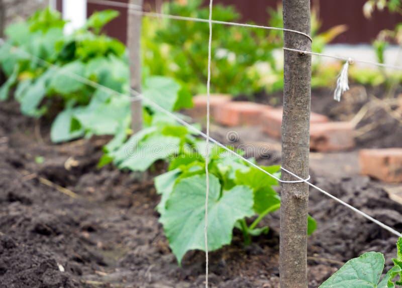 Γόμφοι με δεμένο με ταινία trellis σε έναν κήπο με τα νέα αγγούρια στοκ φωτογραφία με δικαίωμα ελεύθερης χρήσης