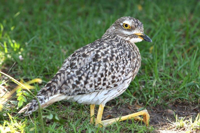 γόνατο πουλιών dikkop που επισημαίνεται πυκνά στοκ εικόνες