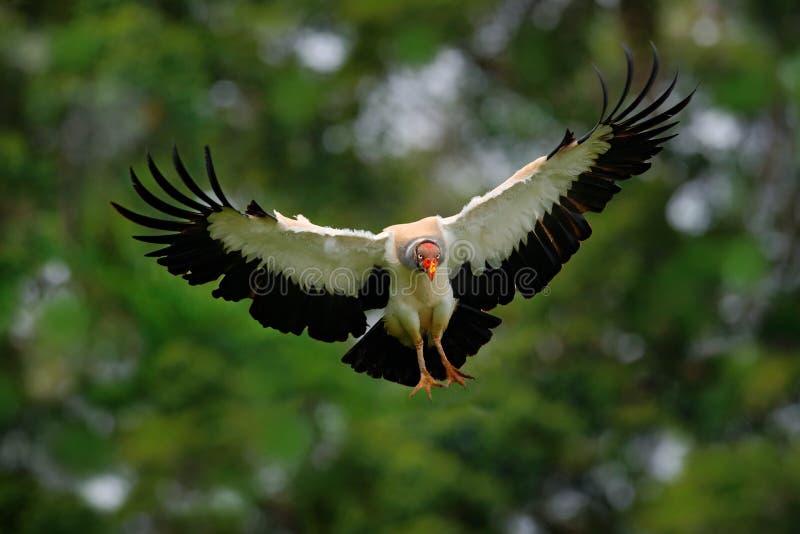 Γύπας βασιλιάδων, μπαμπάς Sarcoramphus, μεγάλο πουλί που βρίσκεται στην Κεντρική και Νότια Αμερική Γύπας βασιλιάδων στη μύγα Πετώ στοκ εικόνα