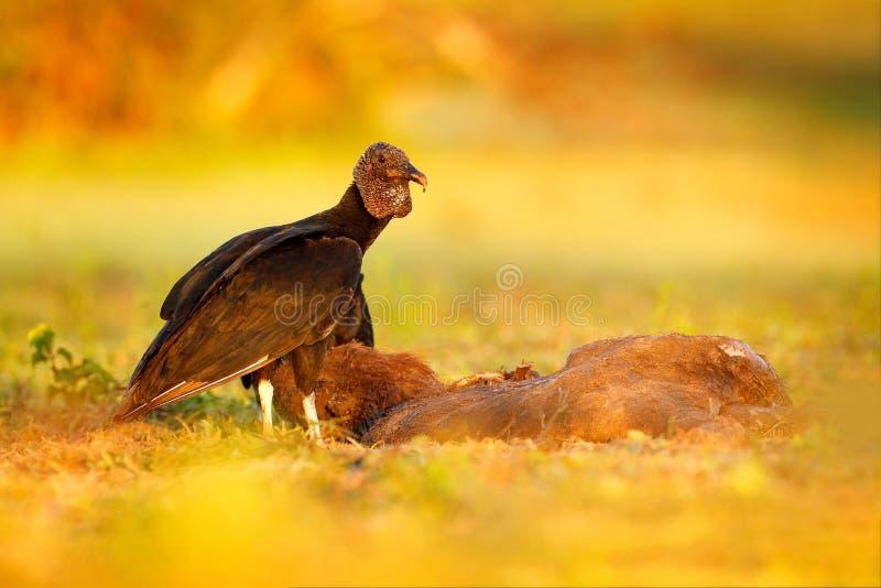 Γύπας με το σφάγιο capybara Άσχημος μαύρος μαύρος γύπας πουλιών, atratus Coragyps, που κάθεται στην πράσινη χλόη, Pantanal, Βραζι στοκ εικόνες