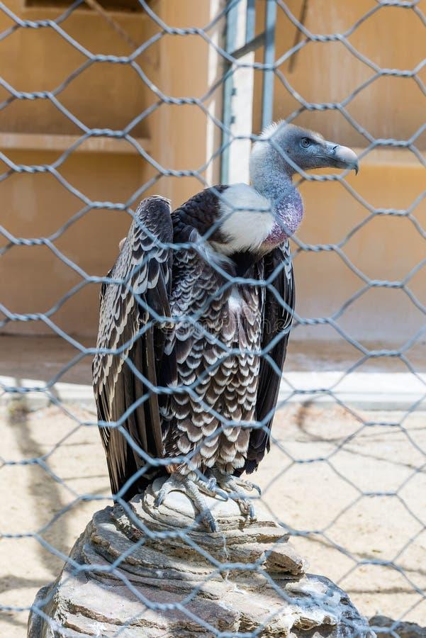 Γύπας πίσω από ένα πλέγμα καλωδίων στο ζωολογικό κήπο στοκ φωτογραφία με δικαίωμα ελεύθερης χρήσης