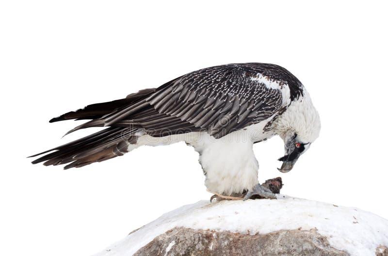 Γύπας Griffon Απομονωμένος πέρα από το λευκό στοκ εικόνες με δικαίωμα ελεύθερης χρήσης