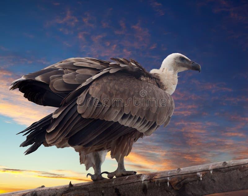 Γύπας Griffon ενάντια στο ηλιοβασίλεμα στοκ εικόνες